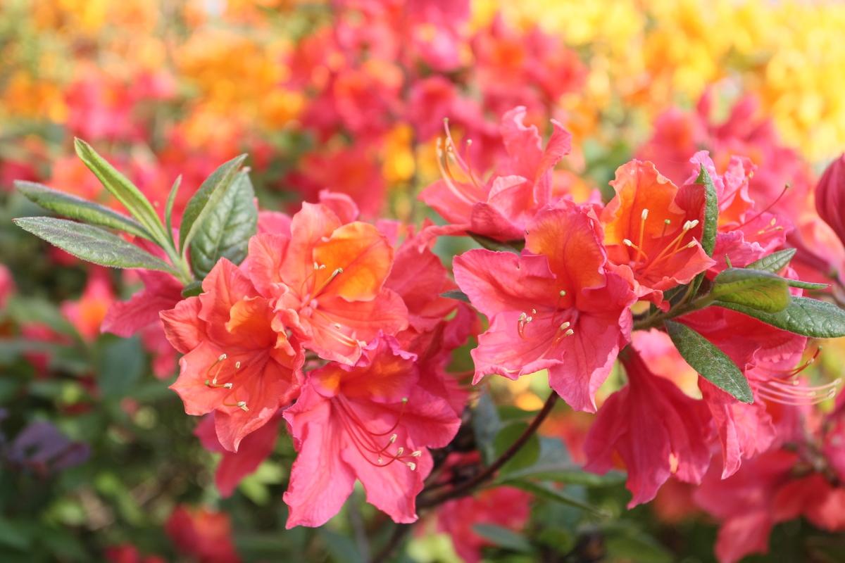 argalis-rododendri__19_